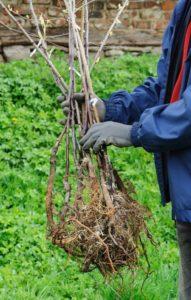 Посадка грушевого дерева - Посадка растений