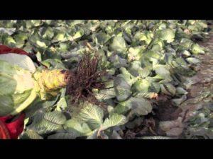 Хранение капусты - Заготовки