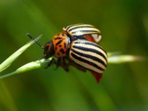 Колорадский жук - Вредители и болезни