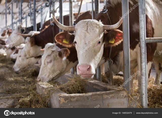Влияние кормового концентрата «Золотой Фелуцен» на мясо - Кормление