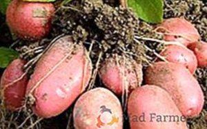 Сажаем картофель правильно - Посадка растений
