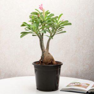 Адениум - выращивание в домашних условиях - Уход