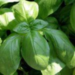 Применение базилика в кулинарии и медицине - Заготовки