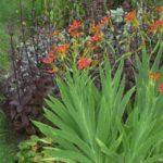 Беламканда китайская - выращивание из семян - Посадка растений Уход