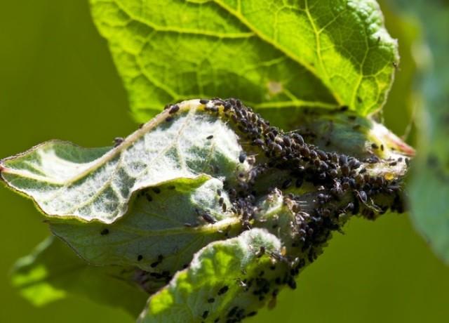 Защита растений от болезней - Вредители и болезни