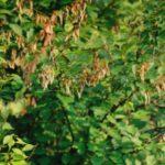 Обработка вишни осенью от болезней и вредителей - Вредители и болезни