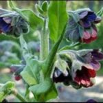 Чернокорень лекарственный от мышей - Вредители и болезни