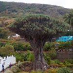 Драконовое дерево - Сорта