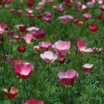 Эшольция: выращивание и уход - Посадка растений