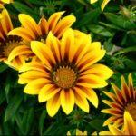 Гацания выращивание из семян в домашних условиях - Посадка растений