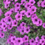 Размножение пеларгонии(герани) семенами - Почва и грядки Сорта