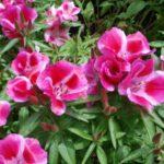 Выращивание годеции из семян - Посадка растений Уход