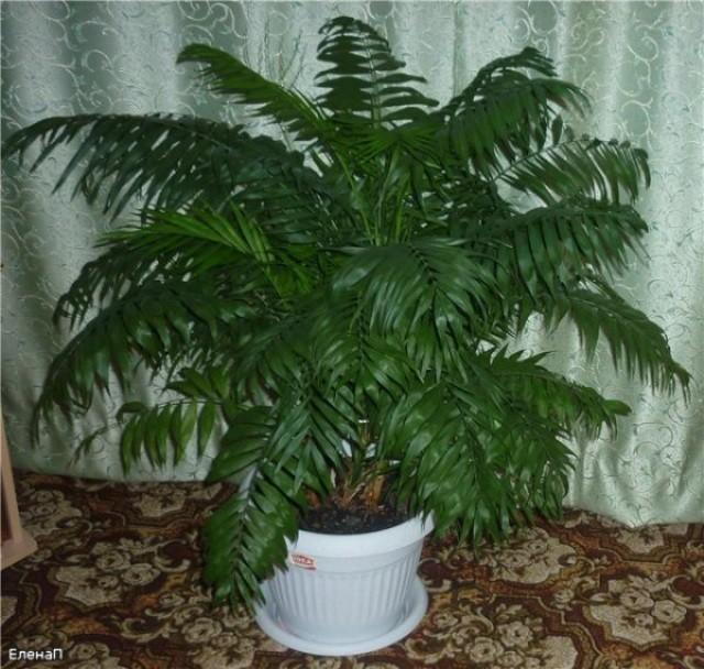 Финиковая пальма на подоконнике - Посадка растений