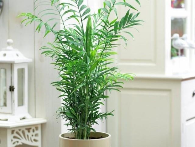 Хамедорея элеганс уход в домашних условиях - Посадка растений Уход