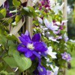 Клематис из семян в домашних условиях - Посадка растений