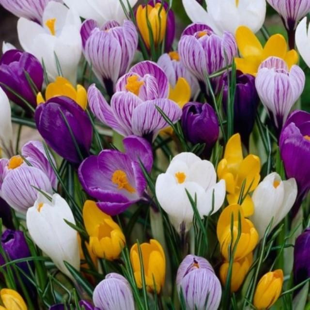 Выращивание крокусов: посадка и выгонка - Посадка растений