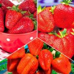 Сорта крупноплодной земляники - Сорта