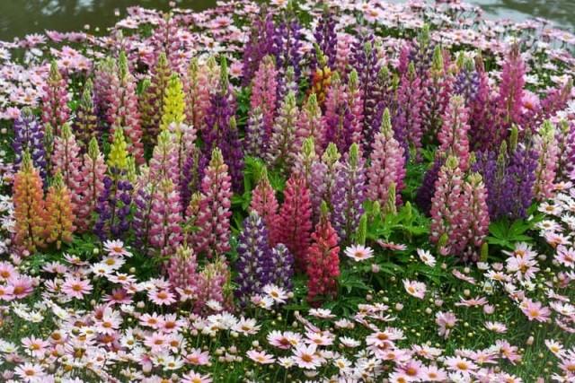 Люпин многолетний посадка и уход - Посадка растений