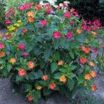 Ночная красавица или цветы мирабилис - Посадка растений Уход