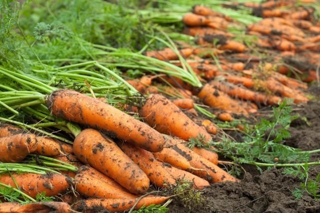 Мульчирование моркови: народный способ борьбы с сорняками и вредителями - Вредители и болезни Уход