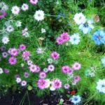 Нигелла дамасская выращивание из семян - Посадка растений