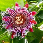 Пассифлора - посадка и уход в домашних условиях - Сорта