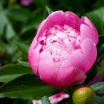 Как выращивать древовидный пион - Посадка растений