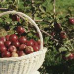 Плодовые и ягодные растения  - Сорта