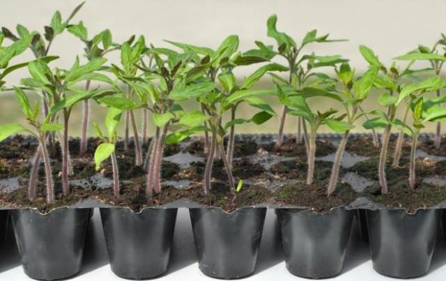 Помидоры - посадка на рассаду в марте - Посадка растений