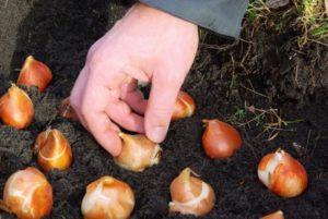 Как сажать тюльпаны - Посадка растений
