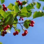 Рецепты и применение ягод боярышника - Заготовки