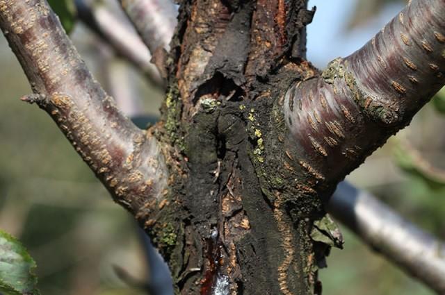 Лечим черный рак плодовых деревьев - Вредители и болезни
