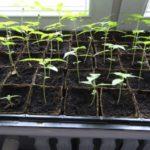 Рассада в квартире на подоконнике - Посадка растений