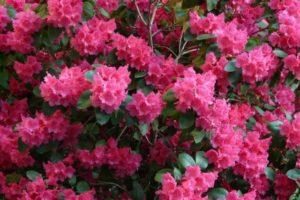 Выращивание и уход за рододендронами - Посадка растений Уход