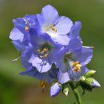Синюха голубая - перспективная медоносная культура - Уход