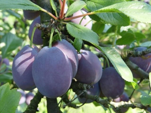 Слива - ценная скороплодная урожайная плодовая культура - Посадка растений Уход