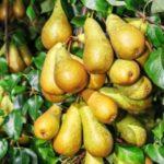 Перспективные сорта груши - Сорта