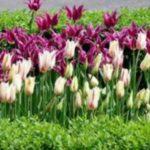 Уход за тюльпанами - Уход