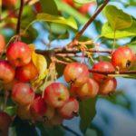 Обновляем яблони - Уход