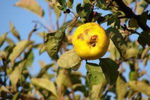 Защита ягодников от вредителей - Вредители и болезни