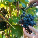 Как выращивать виноград - видео и фото - Уход