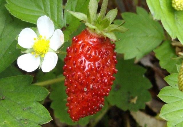 Земляника садовая: выращивание и уход - Посадка растений Сорта Уход