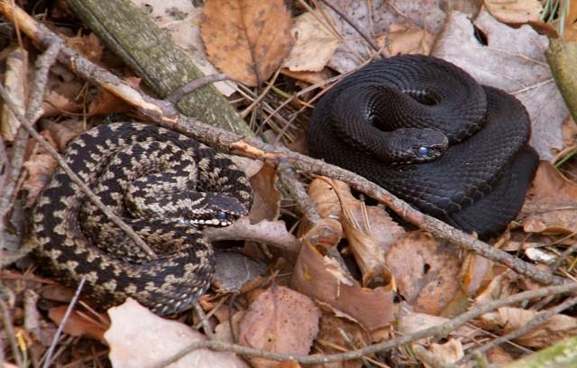 Борьба со змеями на участке - Вредители и болезни