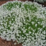 Алиссум - выращивание из семян в открытом грунте - Посадка растений Уход