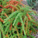 Барбарис Тумберга: посадка и уход в открытом грунте - Посадка растений Уход