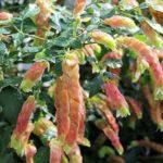 Белопероне: уход в домашних условиях - Посадка растений Сорта Уход