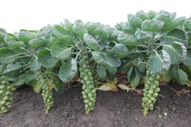 Выращивание брюссельской капусты - Посадка растений Уход
