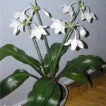 Эухарис амазонский - уход в домашних условиях - Посадка растений Уход
