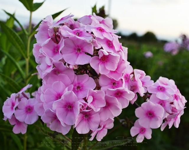 Сорта флокса метельчатого с крупными цветами - Сорта
