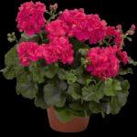 Фуксия: сорта, посадка и уход в домашних условиях - Посадка растений Сорта Уход